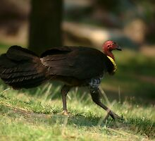 Brush Turkey Trot by theaussie