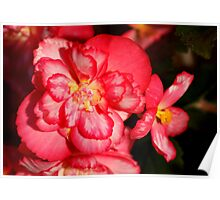 Red Begonia Flower #3 Poster