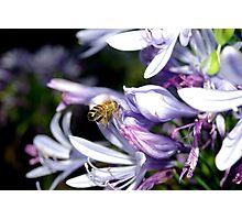 Bee Amongst the Agapanthus II Photographic Print