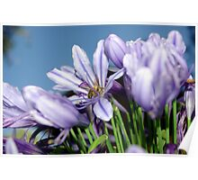 Bee Amongst the Agapanthus I Poster