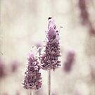 Lavender Dream by KathyT