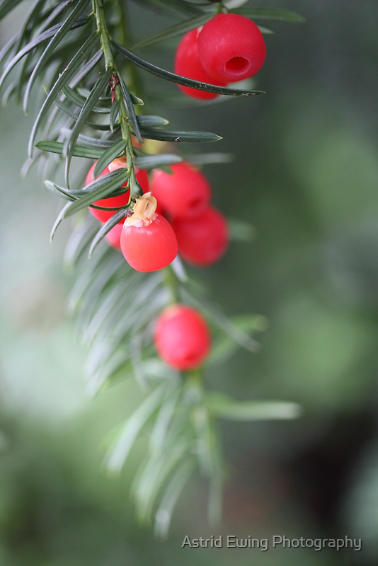 Yew by Astrid Ewing Photography
