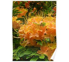 Rhododendron in Sunset Colors Poster
