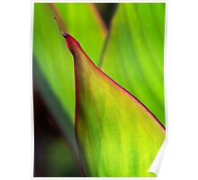Canna leaf study Poster