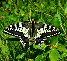 Swallowtail... by MobiTog