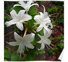 Glowing White Azalea Poster