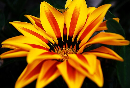 Striped flower by Kate Fortune