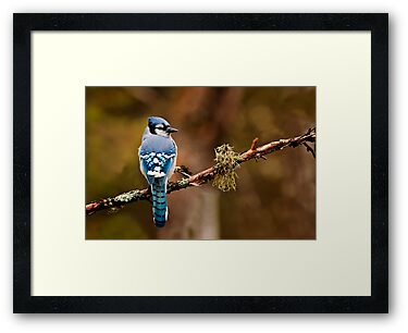 Blue Jay On Branch by Michael Cummings
