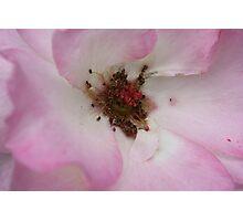 open rose Photographic Print