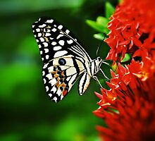 Beautiful Butterfly on Red Flowers by Nhan Ngo