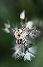 Dandelion iPhone by Evita