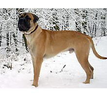 Beautiful Bull Mastiff