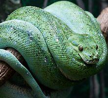 Morelia viridis by Jason Asher