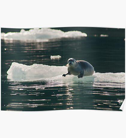 Bearded Seal (Erignathus barbatus) Poster