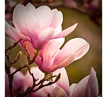 Magnolia 1 Photographic Print