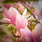 Magnolia 5 by imagesbyjillian
