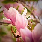 Magnolia 5 by imagesbyjillian
