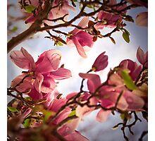 Magnolia 6 Photographic Print