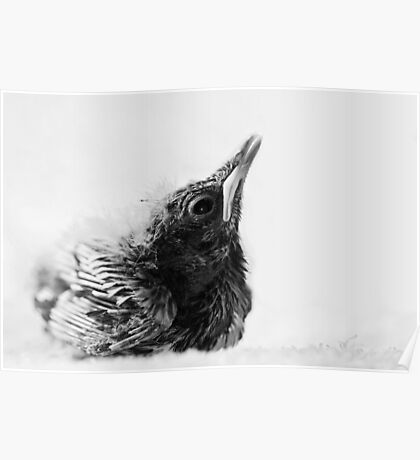 Portrait of a Baby Thrush Poster