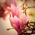Magnolia 10 by imagesbyjillian
