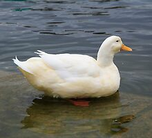elegant water duck by yiching