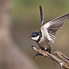 White-Throated Swallow by Lamprecht