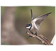White-Throated Swallow Poster