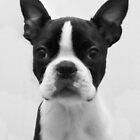 Portrait of Meryl the Boston Terrier by Ludwig Wagner