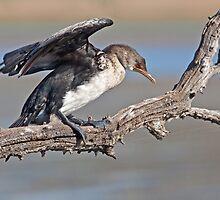 Juvenile Reed Cormorant by Lamprecht