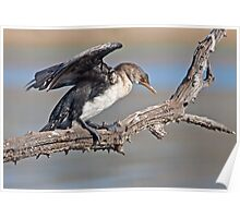 Juvenile Reed Cormorant Poster