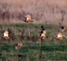 Grey Partridge by webbo