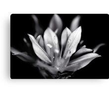 Allium mono Canvas Print