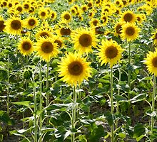 Sunflower field. Photographed in Provence, France  by PhotoStock-Isra