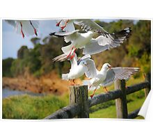 Seagull Cacophony Poster