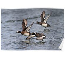 Exit Strategy / Lesser Scaup Poster