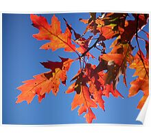 Backlit Red Oak Leaves Poster
