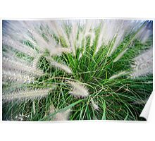 Flowering rush grass on a river bank  Poster
