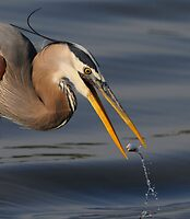 Great Blue Heron by photosbyjoe