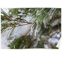 Close-up of pine leaves in snow. Photographed at Odem Forest, Golan Heights, Israel  Poster