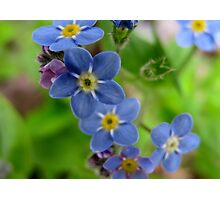 Forget-Me-Not Photographic Print