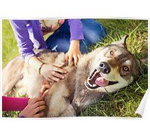 Siberian Husky dog Funny Portrait  Poster