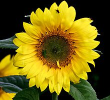 TINY BLACK BUGS ONSUNFLOWER by normanorly