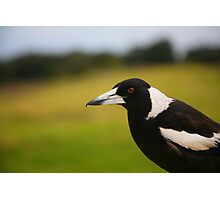 Magpie, Crowdy Head Photographic Print