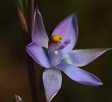 Thelymitra pauciflora by andrachne