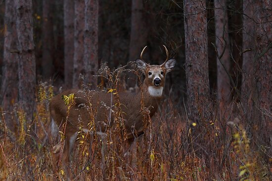 Deep Woods Buck - White-tailed Deer by Jim Cumming