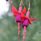 Hanging Fuschia Flowers by Paula Betz