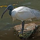 Black Headed Ibis by DonMc