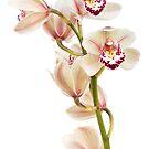 Cymbidium - Boat Orchid by Ann Garrett