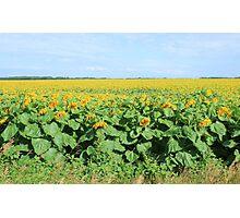 Field of Sunflowers in Altona Photographic Print