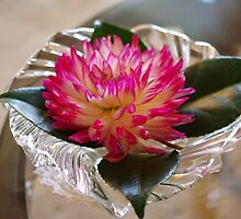 Pink Dahlia on Holly leaves by PKnot